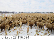 Купить «Large flock of sheep grazing on dry snow-covered field in winter day», фото № 28116394, снято 5 января 2017 г. (c) Losevsky Pavel / Фотобанк Лори