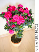 Купить «Beautiful blooming pink azalea flower in pot on floor in house, top view», фото № 28116702, снято 16 октября 2016 г. (c) Losevsky Pavel / Фотобанк Лори