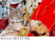 Купить «Lynx cub sits on knees of woman in red cloak», фото № 28117102, снято 14 ноября 2015 г. (c) Losevsky Pavel / Фотобанк Лори