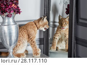 Lynx cub sits on table in front of mirror. Стоковое фото, фотограф Losevsky Pavel / Фотобанк Лори