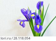 Купить «Delicate violet petals of bright spring flowers of garden irises. Floral background. Empty place for text», фото № 28118054, снято 7 января 2018 г. (c) Виктория Катьянова / Фотобанк Лори