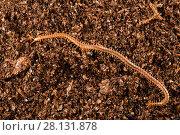Купить «Centipede found in the Deer cave, Gunung Mulu National Park, Borneo, Sarawak, Malaysia.», фото № 28131878, снято 22 августа 2018 г. (c) Nature Picture Library / Фотобанк Лори
