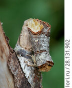 Купить «Buff tip moth (Phalera bucephala) Banbridge, County Down, Northern Ireland.», фото № 28131902, снято 20 июня 2018 г. (c) Nature Picture Library / Фотобанк Лори