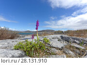 Купить «Early purple orchid, (Orchis mascula) Burren National Park, Mullaghmore, County Clare, Ireland. April.», фото № 28131910, снято 19 сентября 2018 г. (c) Nature Picture Library / Фотобанк Лори