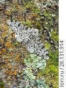 Купить «Peppered moth (Biston betularia) camouflaged among lichens,  Banbridge, County Down, Northern Ireland, June.», фото № 28131914, снято 24 мая 2018 г. (c) Nature Picture Library / Фотобанк Лори