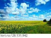 Купить «Поле цветущих подсолнухов на фоне синего неба с красивыми белыми облаками.Тульская область.», фото № 28131942, снято 8 августа 2017 г. (c) Валерий Боярский / Фотобанк Лори