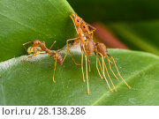 Купить «Weaver ant (Oecophylla smaragdina), two workers holding leaf  while another one is weaving them by the use of a larva to glue the leaves using silk.  Kota Kinabalu Wetlands, Sabah, Malaysian Borneo.», фото № 28138286, снято 24 марта 2018 г. (c) Nature Picture Library / Фотобанк Лори