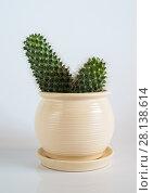 Купить «Cactus in white pot on white background.», фото № 28138614, снято 27 февраля 2018 г. (c) Володина Ольга / Фотобанк Лори