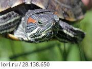 Купить «Черепаха на фоне зеленой травы крупным планом», фото № 28138650, снято 24 мая 2017 г. (c) Яна Королёва / Фотобанк Лори