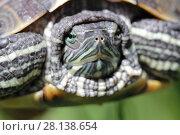 Купить «Черепаха крупным планом», фото № 28138654, снято 24 мая 2017 г. (c) Яна Королёва / Фотобанк Лори