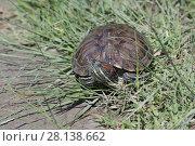 Купить «Черепаха в траве», фото № 28138662, снято 24 мая 2017 г. (c) Яна Королёва / Фотобанк Лори