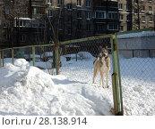 Купить «Домашняя собака на огороженной собачьей площадке во дворе жилых домов на Нижней Масловке. Савеловский район. Город Москва», эксклюзивное фото № 28138914, снято 6 марта 2018 г. (c) lana1501 / Фотобанк Лори