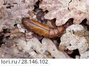 Купить «Oleander hawkmoth (Daphnis nerii) pupa, Southern Sicily, Italy.», фото № 28146102, снято 21 марта 2018 г. (c) Nature Picture Library / Фотобанк Лори