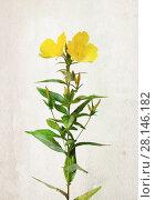 Купить «Watercolor Oenothera biennis flowers», иллюстрация № 28146182 (c) Алексей Кузнецов / Фотобанк Лори
