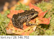 Купить «Juvenile Green Frog (Lithobates clamitans) on moss, Connecticut, USA», фото № 28146702, снято 21 октября 2018 г. (c) Nature Picture Library / Фотобанк Лори