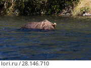 Купить «Grizzly Bear (Ursus arctos horribilis) sow with head underwater looking for salmon  in stream; Olga Bay, Kodiak Island, Alaska.», фото № 28146710, снято 14 декабря 2018 г. (c) Nature Picture Library / Фотобанк Лори
