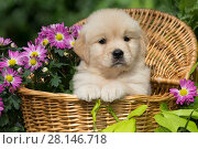Купить «Golden Retriever puppy in wooden basket with purple flowers;  USA.», фото № 28146718, снято 4 июня 2019 г. (c) Nature Picture Library / Фотобанк Лори