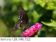 Купить «Spicebush Swallowtail Butterfly (Papilio troilus) nectaring on Zinnia in farm garden,  Connecticut, USA», фото № 28146722, снято 12 декабря 2018 г. (c) Nature Picture Library / Фотобанк Лори