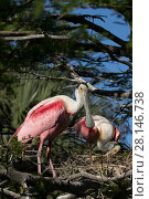 Купить «Roseate spoonbill (Platalea ajaja) pair at nest, St. Johns County, Florida, USA.», фото № 28146738, снято 22 марта 2019 г. (c) Nature Picture Library / Фотобанк Лори