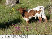 Купить «Texas Longhorn calf in spring wildflowers in hilll country ranchland, Santa Barbara County, California, USA.», фото № 28146786, снято 23 января 2019 г. (c) Nature Picture Library / Фотобанк Лори