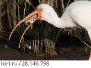 Купить «White ibis (Eudocimus albus) in winter plumage, eating Atlantic blue crab (Callinectes sapidus), at edge of saltwater lagoon. St. Petersburg, Florida, USA (non-ex)», фото № 28146798, снято 25 марта 2019 г. (c) Nature Picture Library / Фотобанк Лори