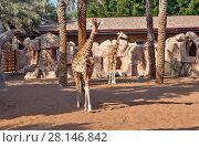 Купить «Жираф в зоопарке Аль-Айна. Абу-Даби. ОАЭ», фото № 28146842, снято 22 декабря 2014 г. (c) Сергей Афанасьев / Фотобанк Лори