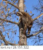 Купить «Храбрый енот (Procyon lotor) на дереве», фото № 28151322, снято 9 марта 2018 г. (c) Валерия Попова / Фотобанк Лори