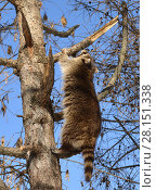 Купить «Raccoon (Procyon lotor) climbs on tree», фото № 28151338, снято 9 марта 2018 г. (c) Валерия Попова / Фотобанк Лори
