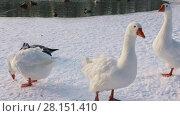 Купить «Domestic geese swims bathes in winter ice-hole», видеоролик № 28151410, снято 8 марта 2018 г. (c) Алексей Кузнецов / Фотобанк Лори