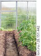 Купить «Rural greenhouse with tomato plant», фото № 28151442, снято 12 июня 2015 г. (c) Евгений Ткачёв / Фотобанк Лори