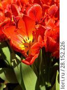Купить «Тльпаны, сорт Parrot Rococo», фото № 28152226, снято 9 марта 2018 г. (c) Валерия Попова / Фотобанк Лори