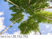 Купить «Crowns of tall birch trees above his head in the forest against a blue sky. Wild nature of the forests. Deciduous forest in summertime», фото № 28152702, снято 10 августа 2017 г. (c) FotograFF / Фотобанк Лори
