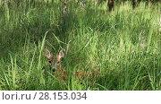 Купить «Roe deer lying in tall green grass and runs away afraid of something», видеоролик № 28153034, снято 5 июля 2016 г. (c) Алексей Кузнецов / Фотобанк Лори