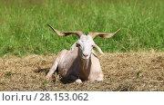 Купить «Horny goat lies on the hay in the middle of the green lawn on a sunny summer day», видеоролик № 28153062, снято 7 июля 2016 г. (c) Алексей Кузнецов / Фотобанк Лори