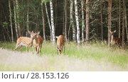 Купить «A herd of spotted deer emerge from the woods on the lawn», видеоролик № 28153126, снято 9 июля 2016 г. (c) Алексей Кузнецов / Фотобанк Лори
