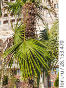 Купить «Пальма на Манежной площади в центре Москвы», фото № 28153470, снято 26 сентября 2015 г. (c) Алёшина Оксана / Фотобанк Лори