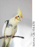 Parrot Corella on a branch. Стоковое фото, фотограф Типляшина Евгения / Фотобанк Лори