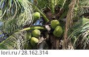 Купить «Coconuts ripen on the palm on a sunny summer day, close-up», видеоролик № 28162314, снято 25 декабря 2016 г. (c) Алексей Кузнецов / Фотобанк Лори
