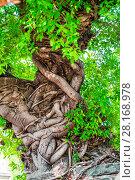 Купить «woven tree trunks unusual tree tropical close-up», фото № 28168978, снято 15 ноября 2016 г. (c) Константин Лабунский / Фотобанк Лори