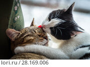 Купить «Two adult young cats black-white and tabby are friends and love and hug and kiss each other on the windowsill», фото № 28169006, снято 19 марта 2015 г. (c) Татьяна Куклина / Фотобанк Лори