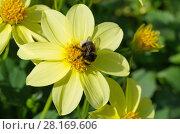 Купить «Шмель собирает нектар на цветке георгина», фото № 28169606, снято 21 августа 2017 г. (c) Елена Коромыслова / Фотобанк Лори