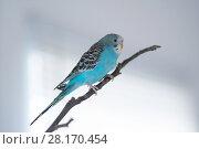 Купить «wavy parrot on a branch», фото № 28170454, снято 8 марта 2018 г. (c) Типляшина Евгения / Фотобанк Лори