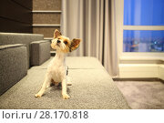 Купить «Sheared Yorkshire terrier with a raised muzzle on the couch in the room», фото № 28170818, снято 8 мая 2016 г. (c) Losevsky Pavel / Фотобанк Лори