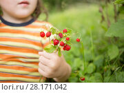Купить «Hand of little girl holding red wild strawberry outdoor, close up, shallow dof», фото № 28171042, снято 2 июля 2016 г. (c) Losevsky Pavel / Фотобанк Лори