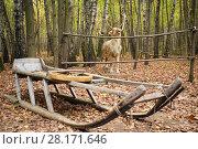 Купить «Wooden sleigh and deer stuffed in yellow autumn forest, focus on deer», фото № 28171646, снято 18 октября 2015 г. (c) Losevsky Pavel / Фотобанк Лори