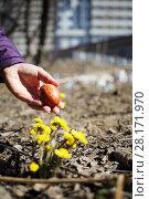 Купить «Woman is holding the brown easter egg near dandelion», фото № 28171970, снято 11 апреля 2015 г. (c) Losevsky Pavel / Фотобанк Лори