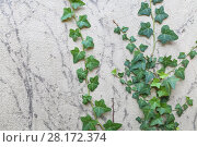 Купить «Ivy - creeping, asylum support, with dark lobed leaves and brush of adventitious roots beneath them, growing in shade», фото № 28172374, снято 2 августа 2016 г. (c) Losevsky Pavel / Фотобанк Лори