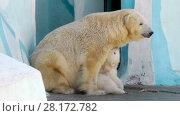 Купить «White baby bear with his mother», видеоролик № 28172782, снято 5 апреля 2016 г. (c) Serg Zastavkin / Фотобанк Лори