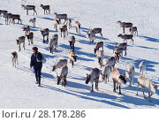 Купить «Reindeer (Rangifer tarandus) with Elizabeth Smith owner of Cairngorm Reindeer Herd leading reindeer down hill to provide supplementary feeding, Cairngorm...», фото № 28178286, снято 24 марта 2018 г. (c) Nature Picture Library / Фотобанк Лори