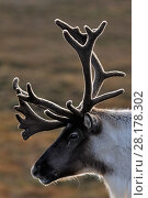 Купить «Reindeer (Rangifer tarandus) bull reindeer with antlers in velvet, reintroduced Cairngorm Reindeer Herd, Cairngorm National Park, Speyside, Scotland, October», фото № 28178302, снято 15 августа 2018 г. (c) Nature Picture Library / Фотобанк Лори